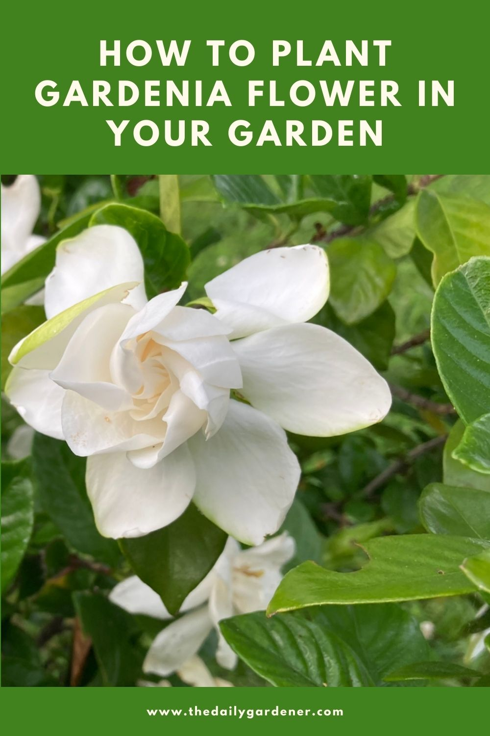 How to Plant Gardenia Flower in Your Garden (Tricks to Care!) 2