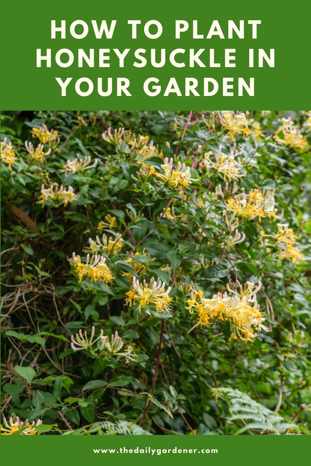 How to Plant Honeysuckle in Your Garden (Tricks to Care!) 1