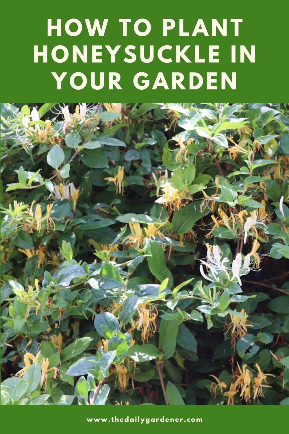 How to Plant Honeysuckle in Your Garden (Tricks to Care!) 2