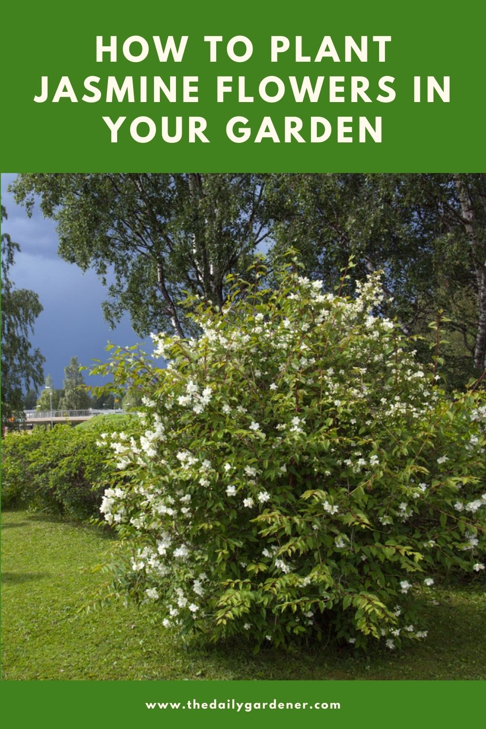 How to Plant Jasmine Flowers in Your Garden (Tricks to Care!) 1