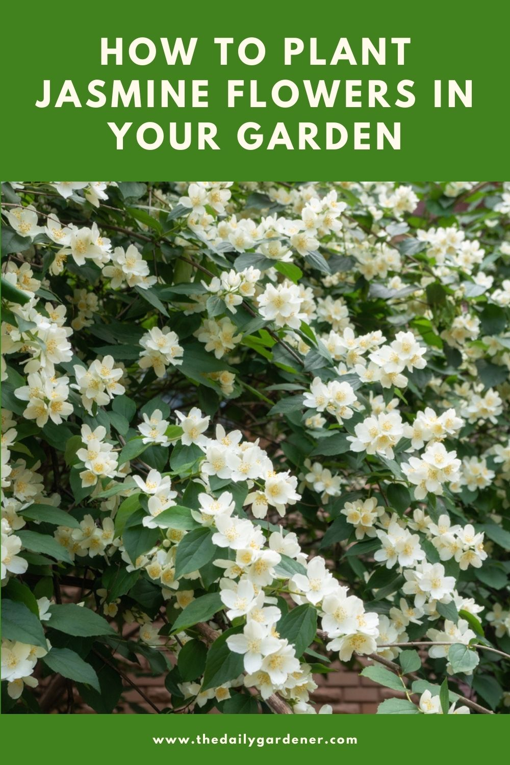 How to Plant Jasmine Flowers in Your Garden (Tricks to Care!) 2
