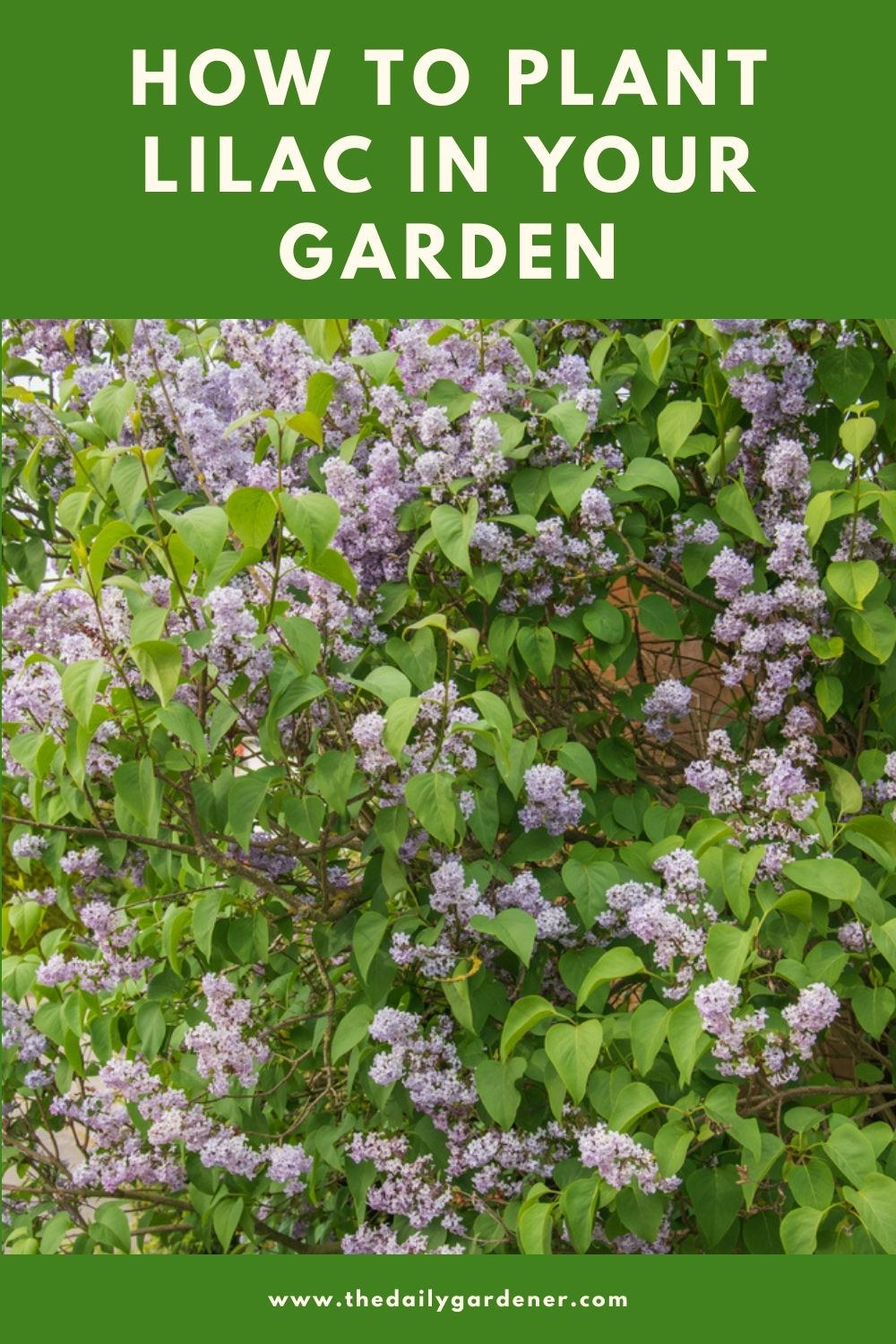 How to Plant Lilac in Your Garden (Tricks to Care!) 2