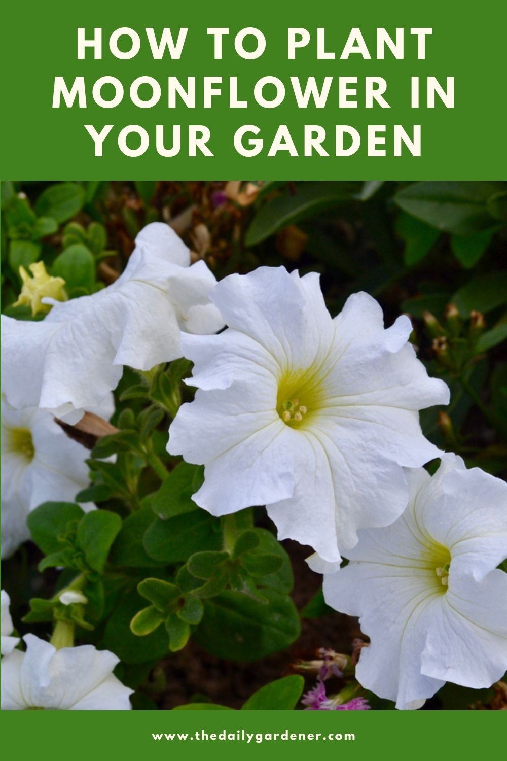 How to Plant Moonflower in Your Garden (Tricks to Care!) 1
