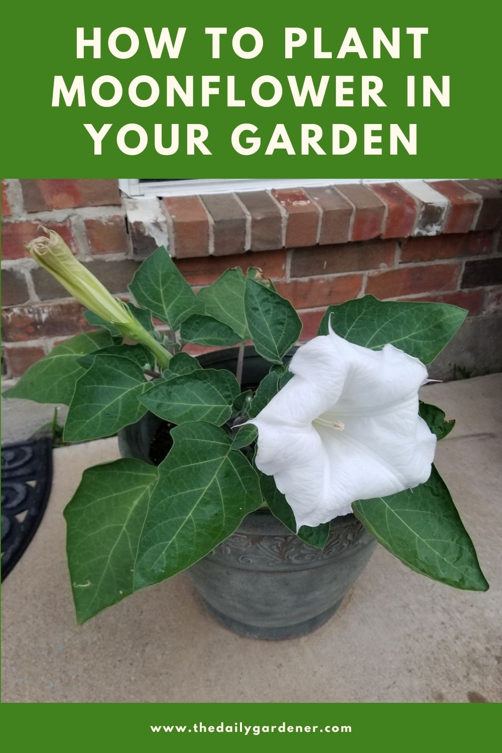 How to Plant Moonflower in Your Garden (Tricks to Care!) 2