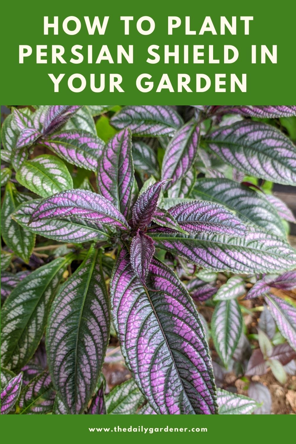 How to Plant Persian Shield in Your Garden (Tricks to Care!) 1