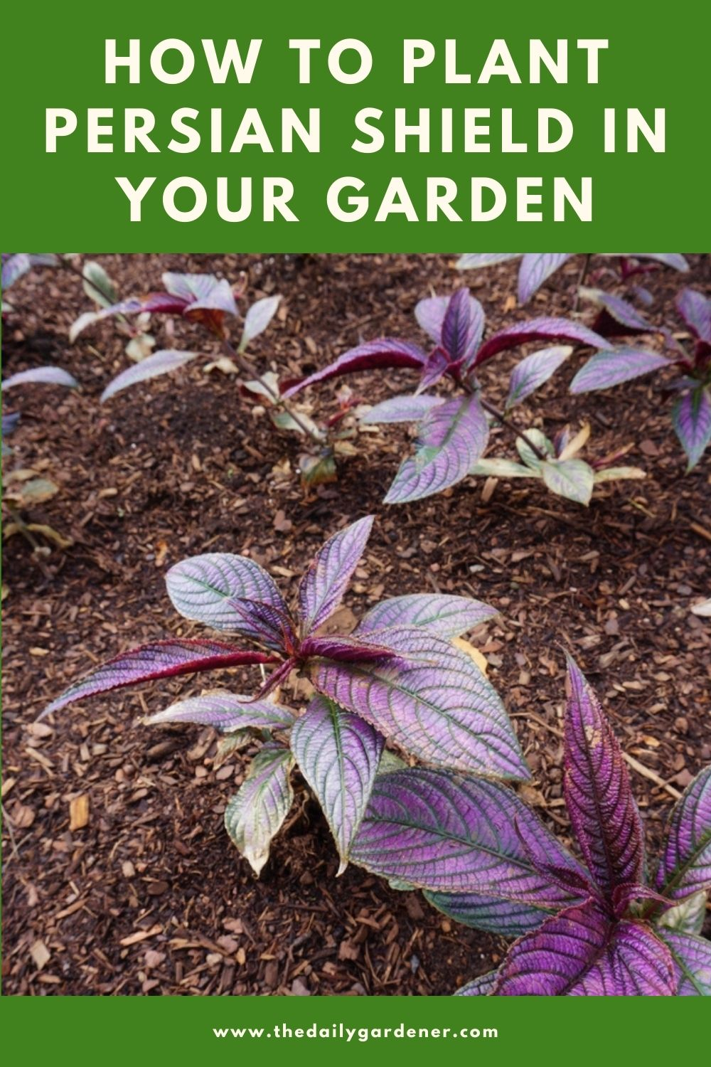 How to Plant Persian Shield in Your Garden (Tricks to Care!) 2