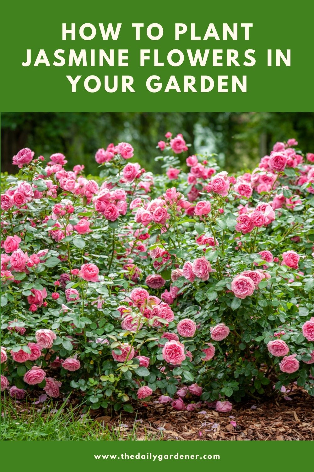 How to Plant Rose in Your Garden (Tricks to Care!) 1