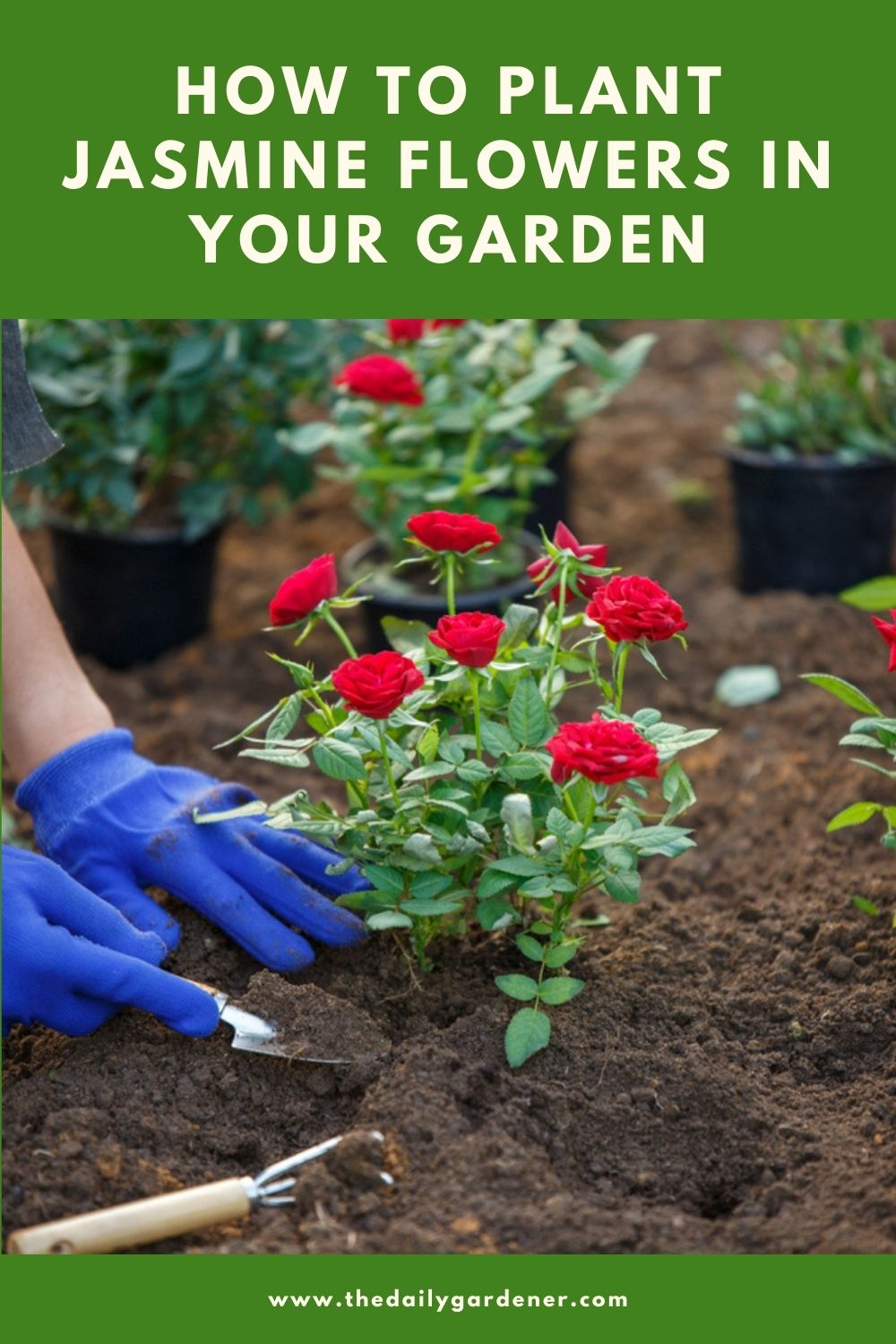 How to Plant Rose in Your Garden (Tricks to Care!) 2