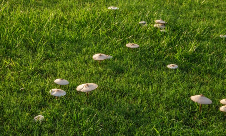 21 Tips to Get Rid of Mushrooms in Lawn