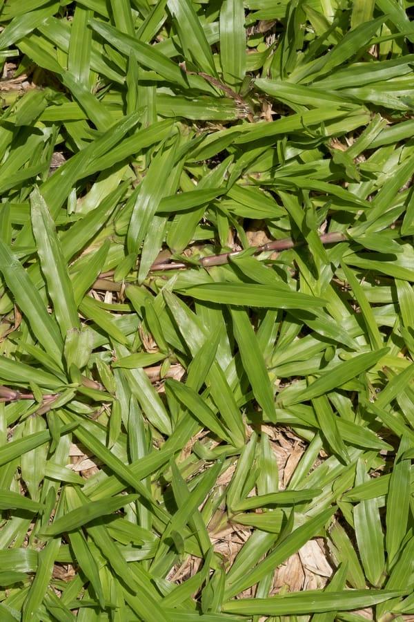 Carpetgrass (Axonopus compresus and Axonopus affinis)