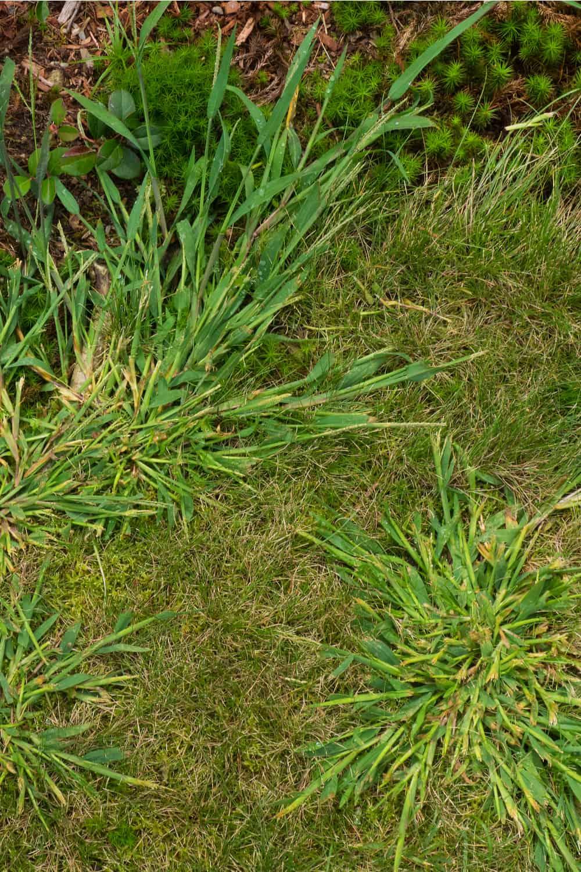 Crabgrass (Digitaria sanguinalis and Digitaria ischaemum)