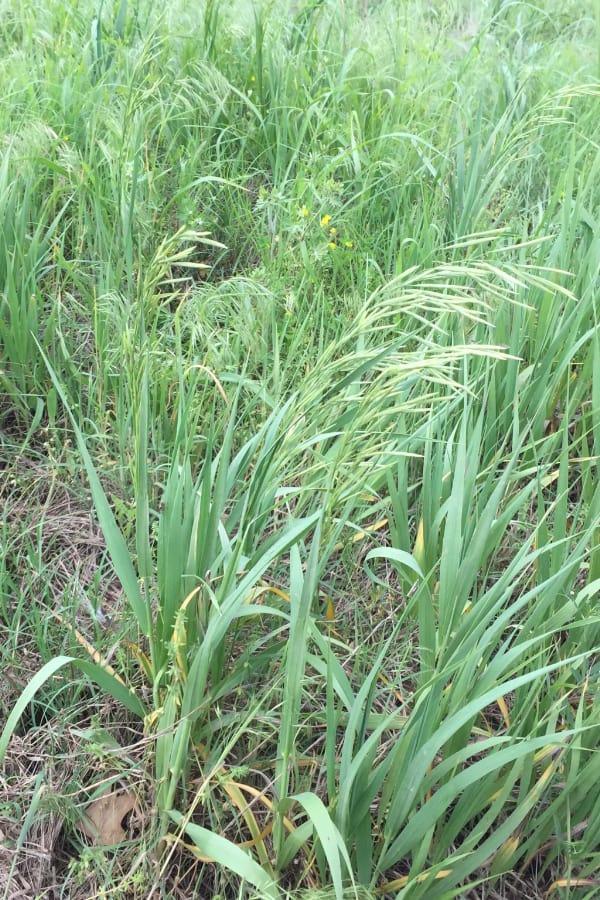 Smooth bromegrass (Bromus ramosus ramosus)