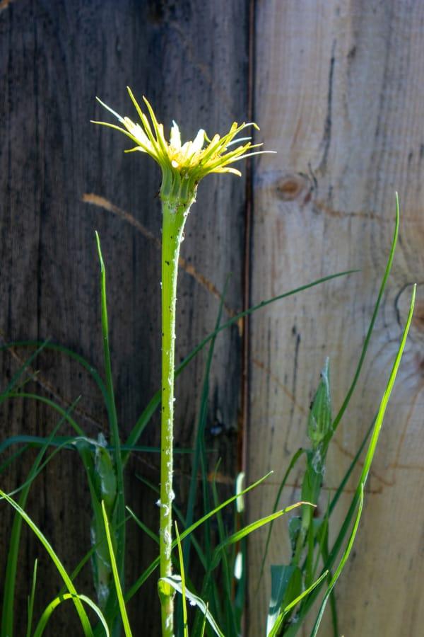 Yellow salsify (Tragopogon dubius)