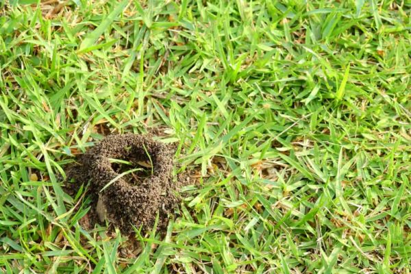 13 Tips to Get Rid of Ants in Lawn