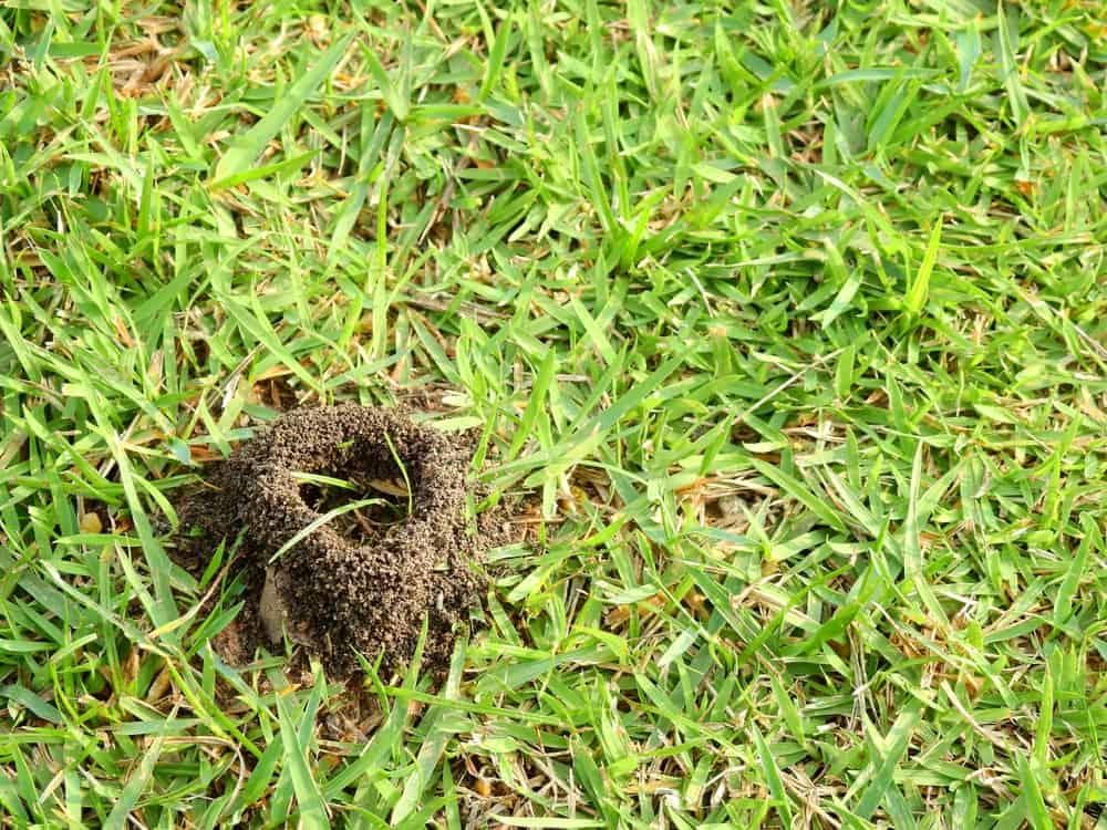 get rid of ants in yard