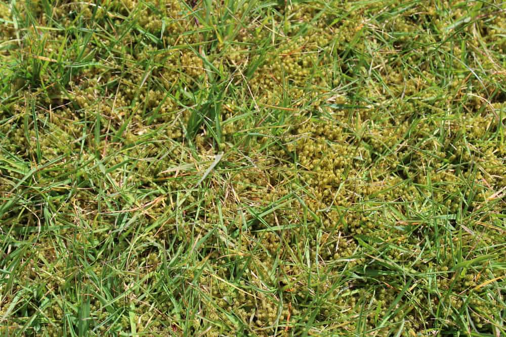 14 Tips to Get Rid of Moss in Lawn