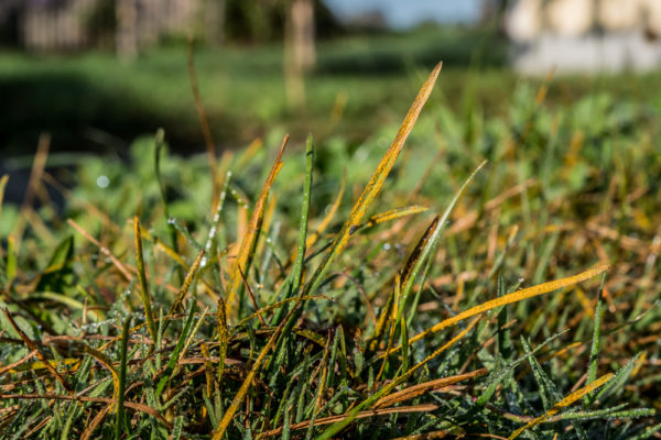 14 Reasons Why Grass is Turning Yellow