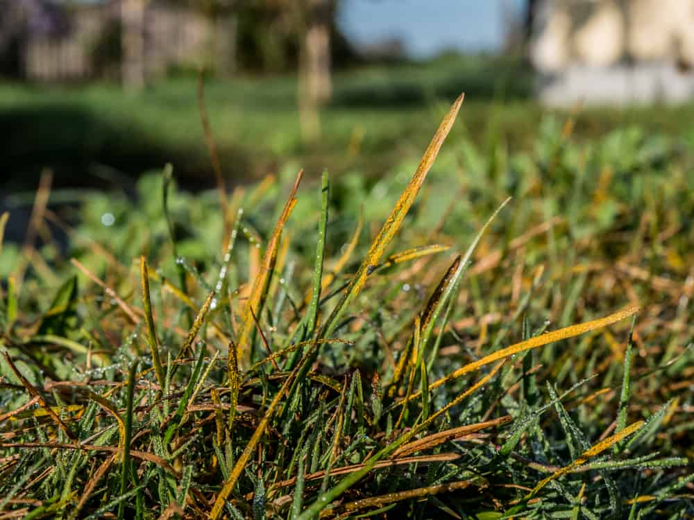 Grass is Turning Yellow