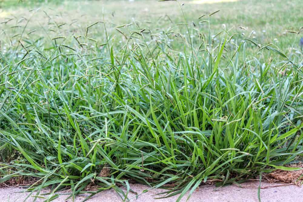 Kill Crabgrass
