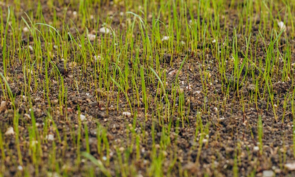 What's the Best Grass Seed Germination Temperature