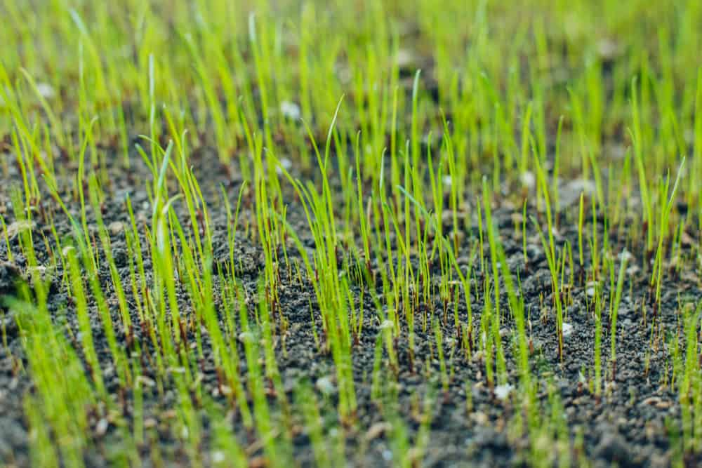 How to speed up grass germination