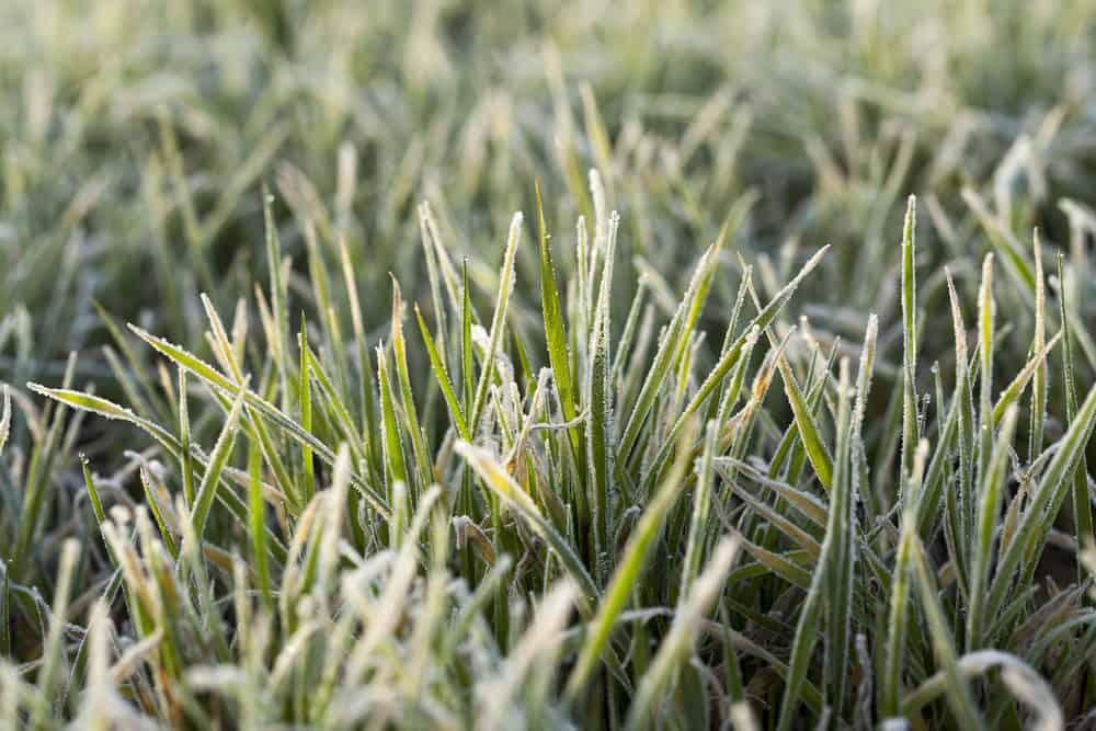 lawn Frost